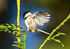 Black-Capped Chickadee Juvenile (jerrygabby1) Tags: