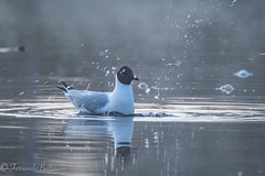 charran in the fog (barragan1941) Tags: aves avesmarinas fauna finlandia gaviotas niebla palmipedos reflejos