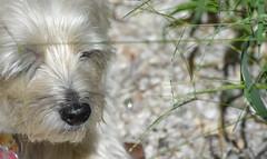Mommy said she cut back the grass... (Dotsy McCurly) Tags: mommy cut back grasses grass yard plants ruffy cute dog cairnterrier fun funny nikon d750 dof bokeh nj
