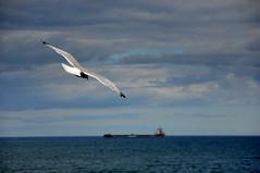 Jonathan (johan van moorhem) Tags: unitedkingdom greatbritain england engeland newcastle harbour seagull jonathanlivingstonseagull ocean tynemouth hadrianwallwalk july2016