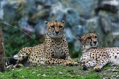 A couple of cheetahs (Jorge Toselli) Tags: temaiken d7200 tamron nikon zoo 16300
