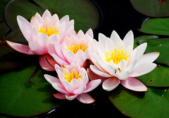 WATERLILIES. (tommypatto : Weeping for Aleppo.) Tags: flowers flores flora waterlilies