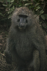 Portrait of African Monkey (jhderojas) Tags: kenia monkey portrait