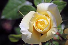 Maig_1299 (Joanbrebo) Tags: 16concursinternacionalderosesnovesdebarcelona efs18135mmf3556is canoneos70d autofocus eosd park parque parc parccervantes barcelona blumen blossom garden jard jardn flores flors flowers fiori fleur