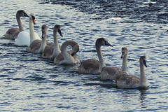 Mum lead the way .. the others followed! (Hythe Eye) Tags: eling hampshire muteswans swans cygnets creek rivertest