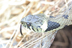 Grass snake , Natrix natrix (10)_filtered (Geckoo76) Tags: grasssnake snake natrixnatrix
