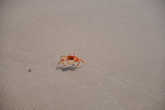 Ghost Crab (Ryan Hadley) Tags: ghostcrab crab animals wildlife beach sand shore nature hiking playaespumilla jamesbay santiagoisland islasantiago galapagos galapagosislands galpagos galpagosislands ecuador southamerica pacificocean nationalpark worldheritagesite