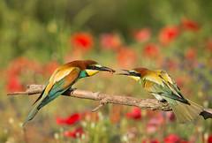 European Bee-eater: Merops apiaster (renzodionigi) Tags: merops meropidae coraciformes aves gruccione bees poppy