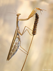 buenaesperanza, cuenta atras (gatomotero) Tags: mantis embarazo barriga parda ocres espiga nature macro field macrofield naturaleza mantoidea olympusomdem1 mzuiko60macro