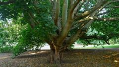 """Golden Cappadocian Maple"".... ""Acer Cappadocium Aureum"" (standhisround) Tags: trees tree nature acer maple cappadocianmaple acercappadociumaureum kewgardens kew rbg london uk gardens royalbotanicalgardens"