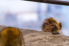 A Barbary macaque peeking over a wall (TimOve) Tags: vacation ferie trip summer sommer barbarymacaque rockape monkey therock peeking looking gibraltar