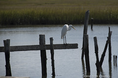Egret (scottnj) Tags: bird egret water dock nj scottnj white grass scottodonnellphotography 365project cy365 reddit365 redditphotoproject