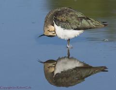 Lapwing (25 of 27) (ianrobertcole1971) Tags: lapwing wwt washington wildfowl reflections sleeping