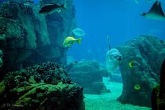 Vasca - Oceanario Lisbona (antoniosimula) Tags: oceanario lisbon lisbona lisboa portogallo portugal area expo fish flora fauna nikon d3200 35mm 70300 tamaron ocean species pacific atlantic indian