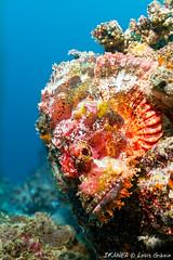 Poss's Scorpionfish-4890.jpg (lgiboin) Tags: indonesia pulauweh travel underwater