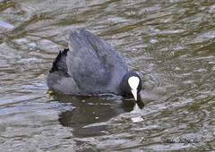 COO 019  ~~~~~~  Coot in aggressive posture ~~~~~~ (Mike Hazzledine -- British Biodiversity) Tags: bird water birds bar rail waterbird coot lings atra fulicaatra fulica granthamcanal lingsbar