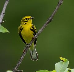 Prairie Warbler (lanaganpm) Tags: birds roaringriver prairiewarbler