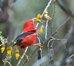 A New Perspective... (ragtops2000) Tags: park red white black bird hawaii nikon native beak maui national species elusive curved rare d300 nector honeycreeper iiwi halekala 70300vr hosmergrove