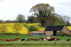 Livestock farming and arable beyond (Kirkleyjohn) Tags: countryside suffolk cattle farming livestock rapeseed oilseed oilseedrape arable blyford