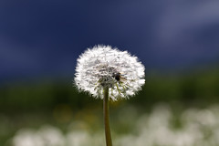 Pusteblume (bohnengarten) Tags: flower eos dandelion bloom blume blüte taraxacum löwenzahn pusteblume 50d