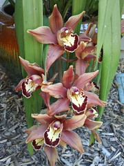 cymbidium orchids (flora-file) Tags: california plants garden tour gardening wildflowers horticulture natives bringingbackthenatives