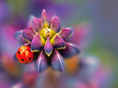 Hello little lady, now stay still... (Christopher J. Morley) Tags: red canada flower color colour macro vancouver dof bc purple north olympus ladybug e3 lupin lupine lscr playingwithmanualfocus relaxingandpeacefulhunting easytolosetrackoftime