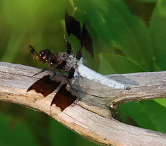 Dragonfly (DebStep77) Tags: dragonfly plathemislydia insectsandspiders commonwhitetaildragonfly