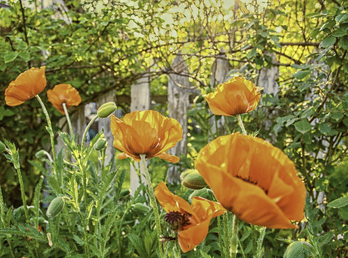 """Poppies • <a style=""""font-size:0.8em;"""" href=""""http://www.flickr.com/photos/76866446@N07/7209835926/"""" target=""""_blank"""">View on Flickr</a>"""