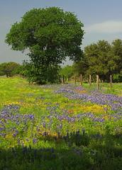 TX12P5960 (catnahat) Tags: travel tourism spring texas pentax wildflowers roadside hillcountry bluebonnets springtime fenceline kx