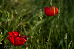 di rosso e verde [Explore] (miglio) Tags: explore tuscany siena pienza fiori toscana fiore papaveri eplored canon7d
