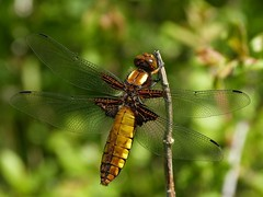 Broad-Bodied Chaser (ukstormchaser (A.k.a The Bug Whisperer)) Tags: uk animal animals bush dragonflies dragonfly wildlife milton keynes bushes chaser chasers broadbodied