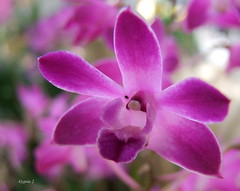 Singled Out Dendrobium (gypsie2 ~ On/Off) Tags: orchid flower macro nature ngc npc dendrobium 2012 coth thegalaxy s100fs rememberthatmomentlevel1 rememberthatmomentlevel2