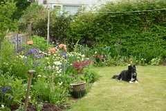 Bess in the garden (Annie-Sue Jyelra) Tags: flowers dog garden handle collie sheepdog lawn fork acer poppies spade washingline bluepoppies