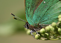 Green Hairstreak (Callophrys rubi) (nutmeg66) Tags: butterfly may lincolnshire 2012 greenhairstreak donnanook callophrysrubi