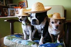 straw dogs (EllenJo) Tags: pets chihuahua silly dogs june bostonterrier ivan hats hazel canonrebel floyd 2012 digitalimage dogsinhats strawhats chihuahuamix june8 ellenjo ellenjoroberts dogsindisguise editedwithpicmonkey