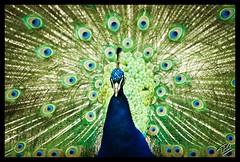 Peacock (Phil 22) Tags: zoo 22 raw phil pentax peacock morbihan 56 plumes k5 roue lorient paon pontscorff