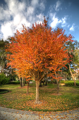 Fiery Sheen copy (Open Iris Photography) Tags: tree fall leaves landscape seasons florida fl treeonfire leavesturning