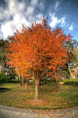Fiery Sheen copy (Open Iris Photography) Tags: tree fall leaves landscape seasons florida fl treeonfire leavesturning