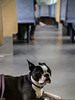 Boston Terrier in a train 18.06.2012