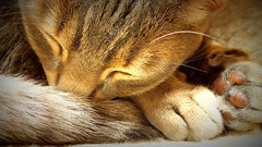 Rubi (Callie Douglas) Tags: cat burmese bengal