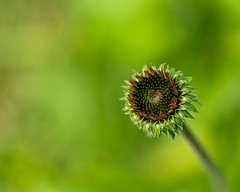 coneflower from above (loco's photos) Tags: light plant flower green dof pentax echinacea bokeh depthoffield coneflower kr fa77limited