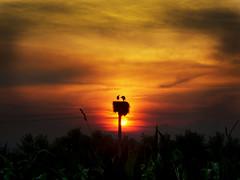 CIMG0847 Let's go to sleep darling... ON EXPLORE #318 (pinktigger) Tags: sunset italy nature landscape italia nest stork friuli fagagna cicogna oasideiquadris feagne