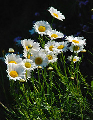 Sea mayweed (Messent) Tags: flowers coast pembrokeshire porthgain sirbenfro mayweed