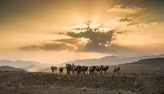 Salt caravan (Thierry Hennet) Tags: sunlight man zeiss landscape evening desert sony salt scenic donkey camel filter caravan traveling tradition ethiopia greatriftvalley a900 neutraldensity graduatednd danakil hottemperature cz2470mmf28