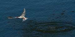 Common Tern, Post (Unsuccessful) Hunt (DMF Photography) Tags: nature birds newjersey jerseycity wildlife birding nj northeast birdwatching shorebirds terns commontern portliberte