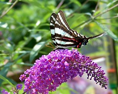 """Zebra Swallowtail"" (jamesfburns) Tags: saved butterfly tennessee snapshot insects zebra swallowtail butterflybush butterfliesoftheworld me2youphotographylevel1 butterfliesofamerica zebraswalllowtail zebraswallowtailonbutterflybush flyinginsectscentraltennesseecentral areasnapshotquick"