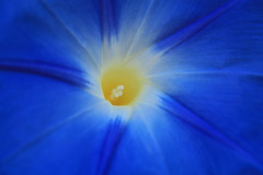 Morning glory (alison.toon) Tags: morning blue flower up close glory