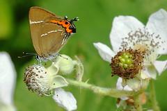 DSC07698 - White Letter Hairstreak (steve R J) Tags: white butterfly downs explore letter british hairstreak benfleet
