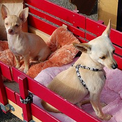 At the Flea Market with momma (DollyBeMine) Tags: california red rescue pets chihuahua cute dogs animal vintage shopping puppy wagon puppies market southern biscuit deerhead longbeach fawn antiques fleamarket radioflyer peewee collectibles rescued antiqueshow elitechihuahuas