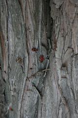 2012_jlius_065 (emzepe) Tags: red tree rot bug insect arbol rouge hungary trunk arbre ungarn baum firebug fa bois 2012 piros hongrie nyr kafer pyrrhocoris lakitelek rovar bogr apterus jlius tserd fatrzs bodobcs verklt pincebogr